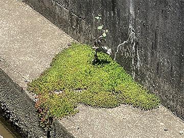 コンクリートの上に広がる苔のお城